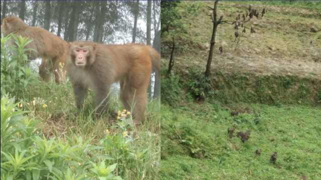 百只野生猴毁庄稼,他无奈投食1年