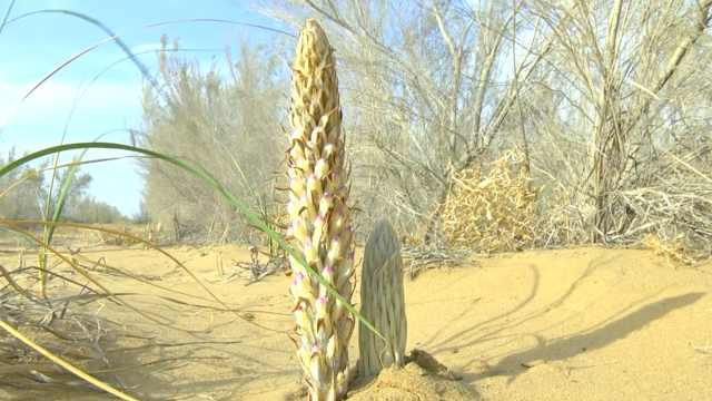 沙漠人参肉苁蓉,能治沙也是好药材