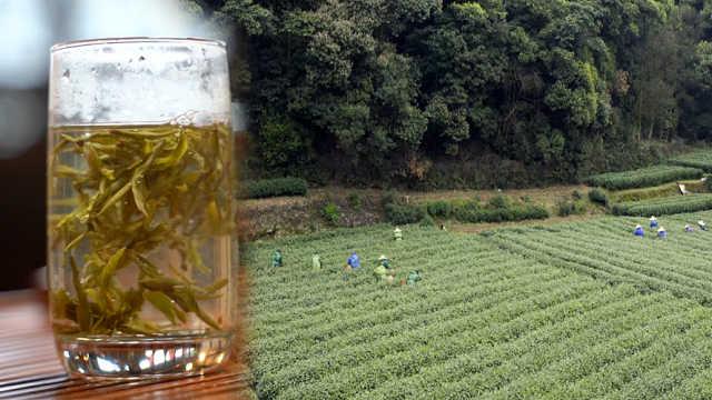 雨前龙井:顾客跨越七百公里来买茶