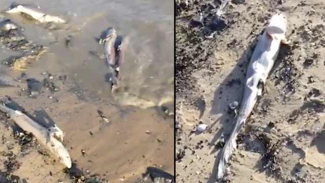 英海滩现百条鲨鱼残尸,背鳍被活割