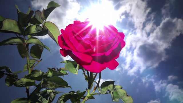 送人的玫瑰是月季!真·玫瑰去哪了
