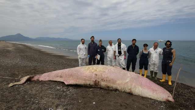 震惊!粉色抹香鲸胃部发现大量塑料