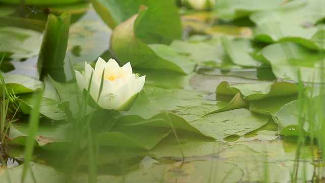 这里的一池睡莲,美得像一幅油彩画
