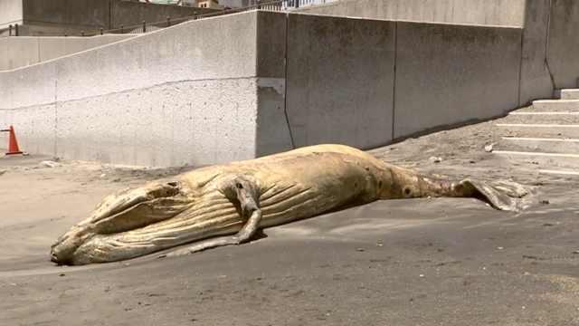 日本近海出现鲸鱼腐尸,居民被吓到