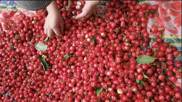 稀缺!汶川大樱桃甜蜜上市,个大味甜