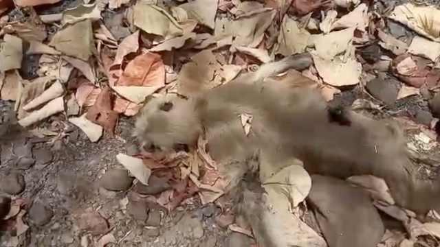 印度热浪,15只猴子抢水源中暑而亡
