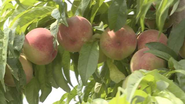 个性果农种桃不除草:又防虫又保暖