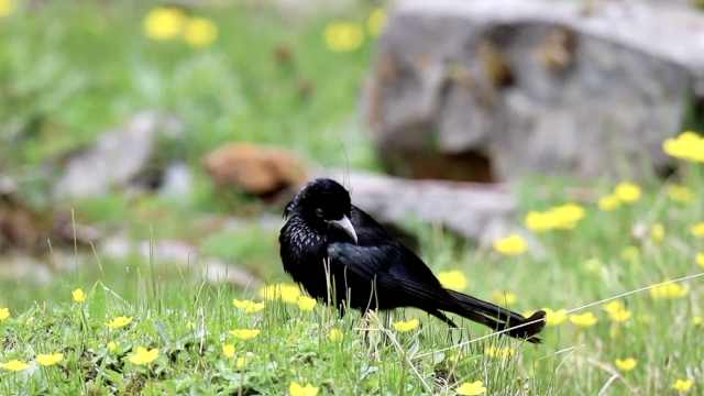 南方鸟高原做客,青海首拍发冠卷尾