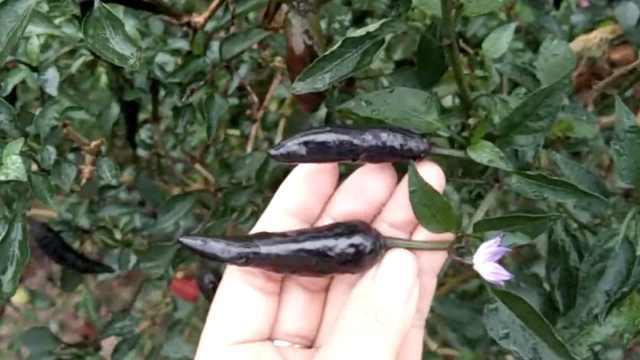 重庆农户种黑色辣椒,一个顶三个辣