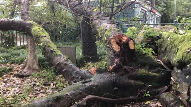 突发!温州江心屿500年榕树被雷劈倒