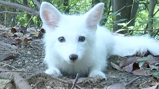小白狐现身景区:可爱,腿有点伤