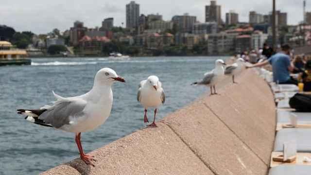 小心鸟屎!澳洲银鸥携带超级细菌