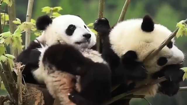 熊猫的便便都做成纸巾了?