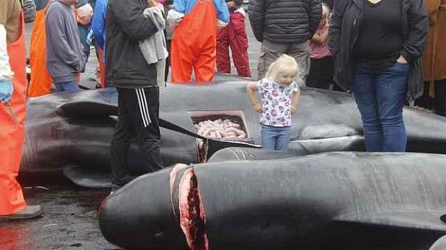 法罗群岛捕杀23头鲸鱼,染红海水