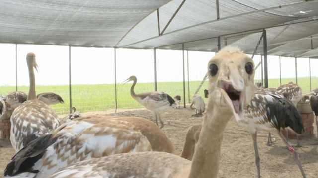 萌炸!60只丹顶鹤出生,从小修炼腿型