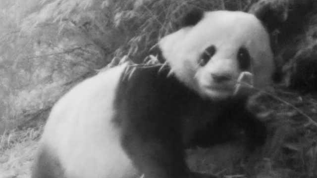 围观!红外相机22天3次拍到野生熊猫