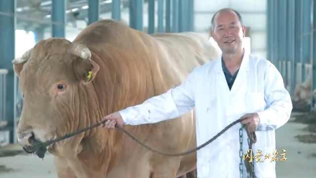他主持育成中国肉牛:夏南牛