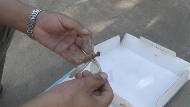濒危!丹江口现水质指标昆虫巨齿蛉