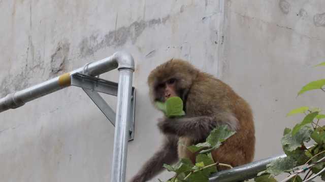 饿?猕猴爬楼啃叶子,村民好心喂香蕉