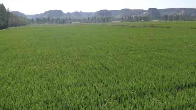 他黄河滩种4万亩水稻,亩产1300斤