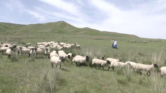 畜牧师扎根牧区37年:身上常有粪沫