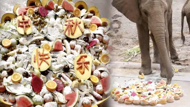动物过中秋!大象狂扫1.2米豪华月饼