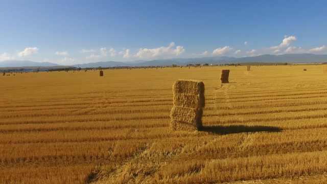 金色麦浪!新疆昭苏45万亩小麦开收