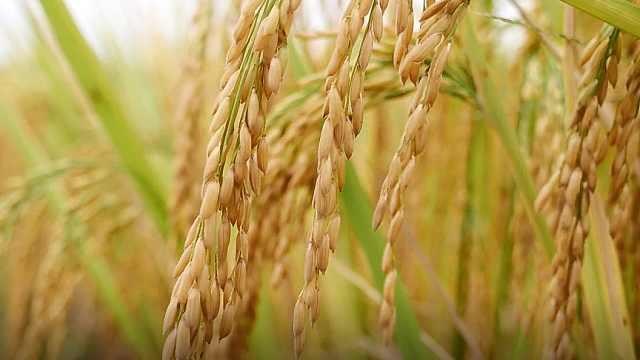 这村大米清香润滑,乾隆年间成贡米