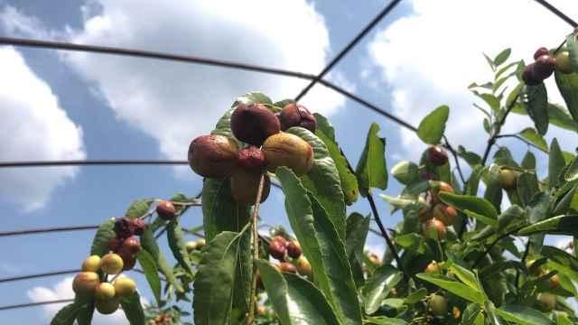 金井蜜脆枣甜似蜂蜜,枝头挂红枣干