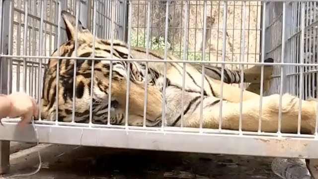 泰老虎庙被救百只老虎,超半数死亡