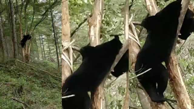 尴尬!黑熊挂树上,被村民拍视频传播