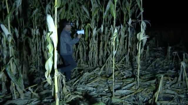 野猪玉米地肆虐,村民放杀猪声吓唬