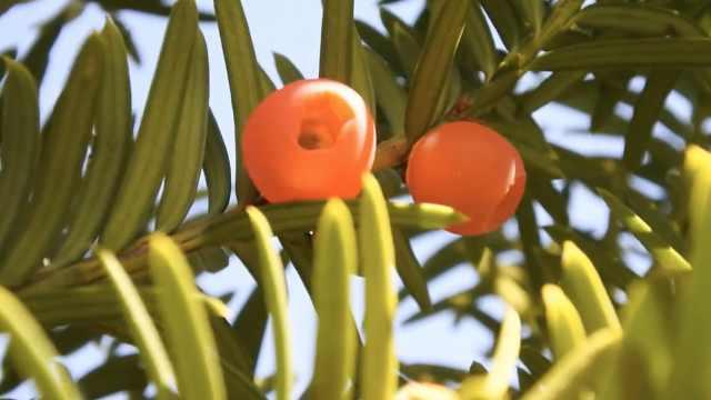 植物界大熊猫红豆杉,果实500元1斤