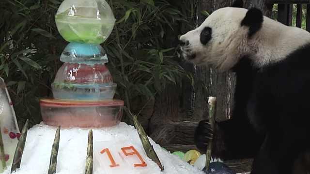 """旅泰大熊猫""""创创""""死因:心力衰竭"""