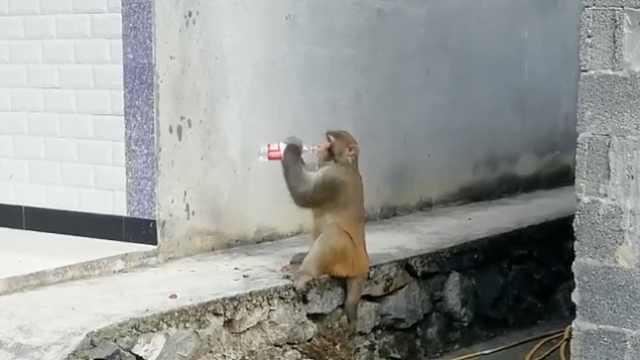 疑猴王争霸落选,失意猴哥成