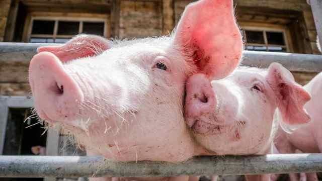 养猪比上班还赚钱,要辞掉工作吗?