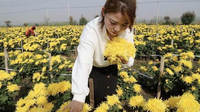 女大学生返乡种千亩菊花:像养女儿