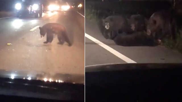 小熊被车撞倒,同伴勇闯车流相救