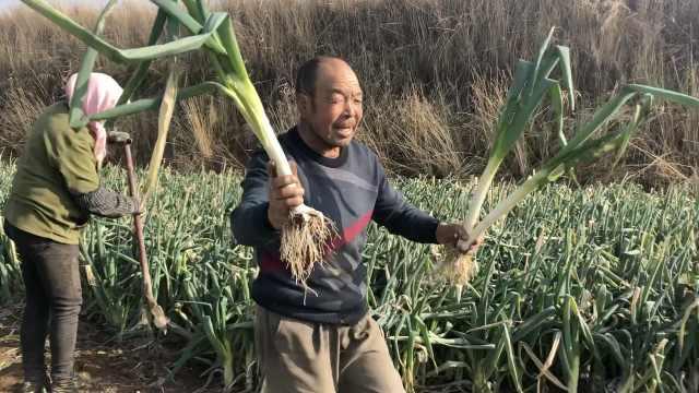 青海滯銷大蔥賣210噸,村民跳甩蔥歌