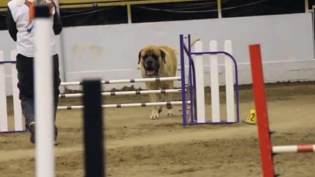 一场汪星人敏捷大赛上的慢节奏狗狗