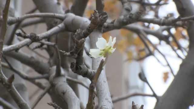 东北太暖和?立冬5天后梨树开花了