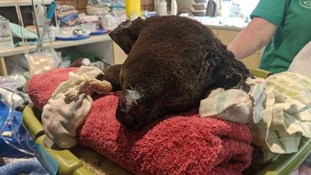 暖心!澳洲夫妇救助24只烧伤考拉