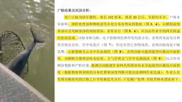 长江又现死亡江豚:身上留多处划痕
