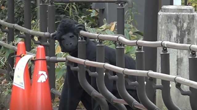 日本动物园演习,人扮猩猩出逃被擒