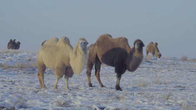 数百峰骆驼雪地漫步,深情凝视游客