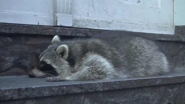 浣熊喝醉酒街头徘徊,被抓惨遭射杀