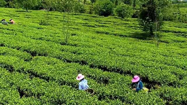 """所谓""""古树茶""""值得买吗?"""