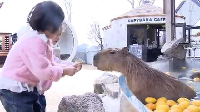 冬至惯例,日本动物园水豚泡柚子浴