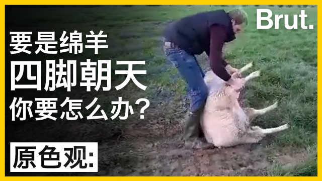要是遇见绵羊四脚朝天,该怎么办?