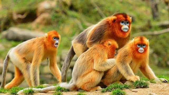 金丝猴为了争夺配偶大打出手?